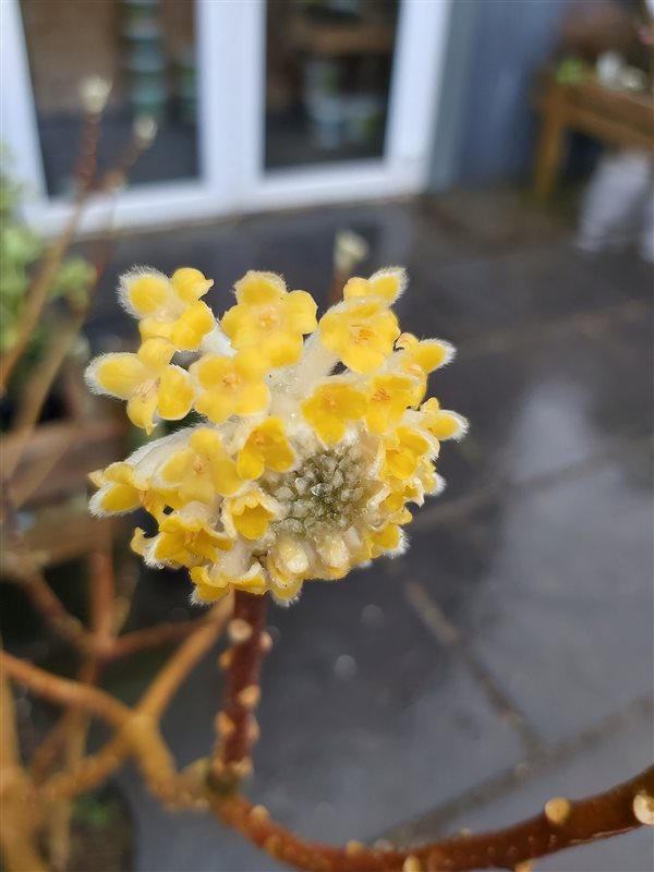 Edgeworthia chrysantha picture 2