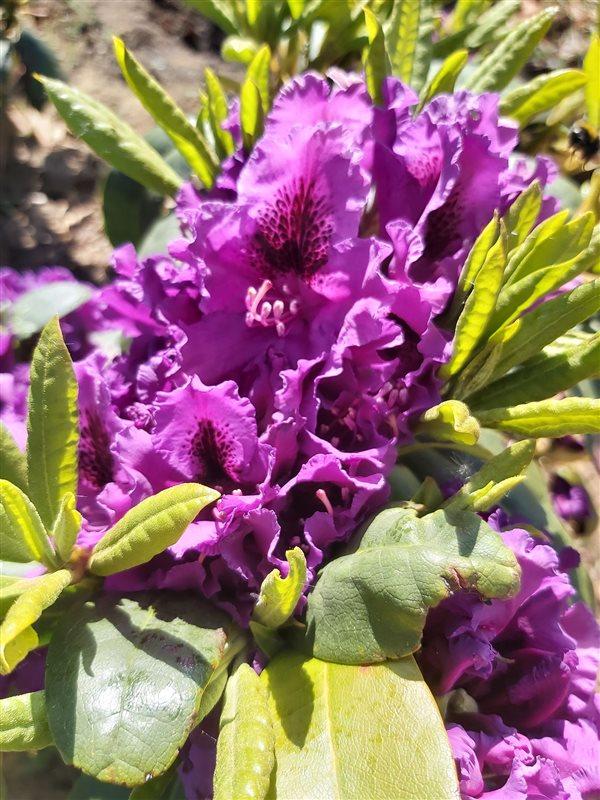 Rhododendron 'Azurro' picture 2