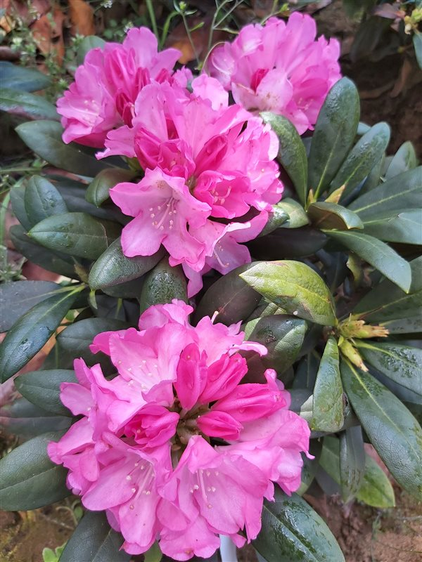Rhododendron (Y) 'Kalinka' picture 3