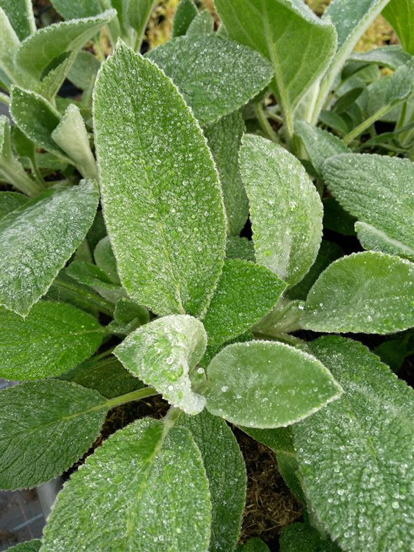 Stachys byzantina 'Big Ears' picture 2