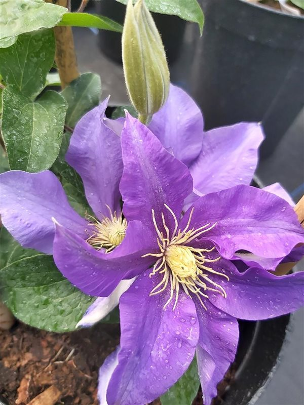 Clematis boulevard Olympia