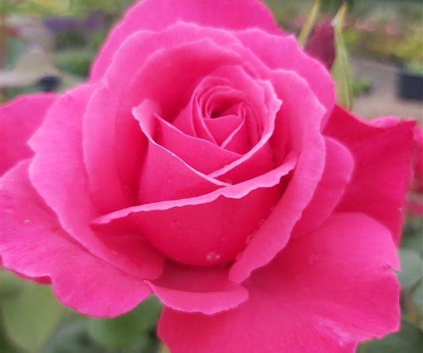 Image of Rosa (T) Mullard Jubilee