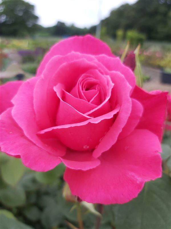 Rosa (T) Mullard Jubilee