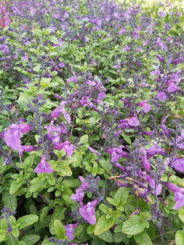 Salvia 'Cool Violet'