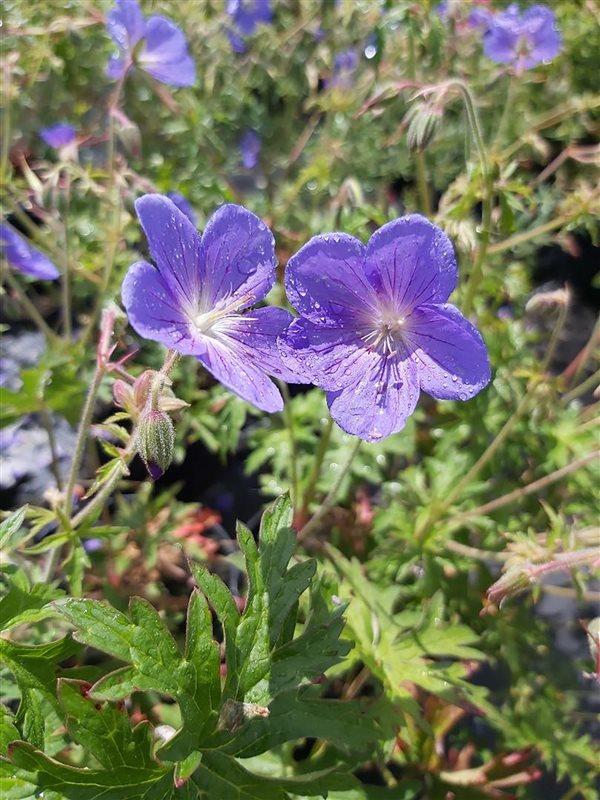 Geranium 'Johnson's Blue' picture 2