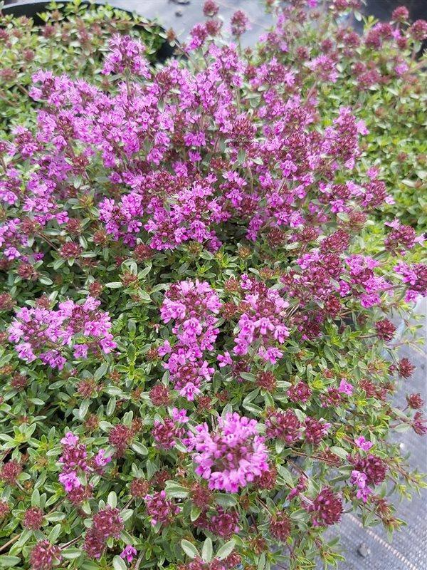 Thymus praecox 'Coccineus' picture 3