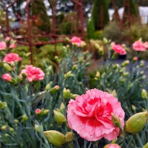 Dianthus (PL) 'Pike's Pink'