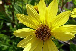 Image of Helianthus 'Lemon Queen'