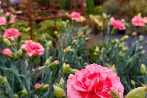 Image of Dianthus 'Romance'